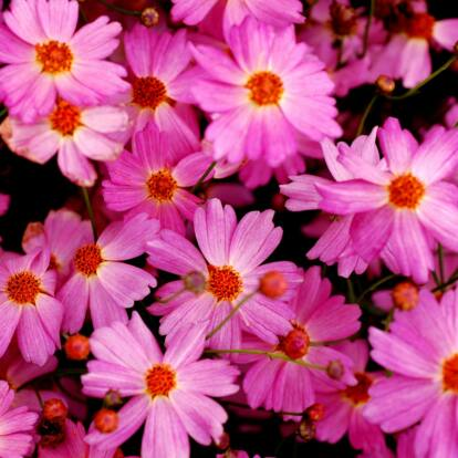 Coreopsis verticillata 'Pink Lady' / Menyecskeszem
