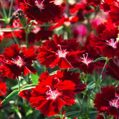 Dianthus Hybr. 'Summer Diamonds Dark Red' / Nyári szegfű