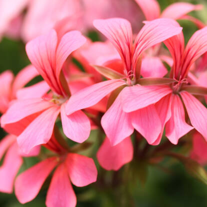 Ville rózsaszín
