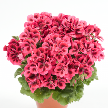 Candy Flowers Raspberry Red