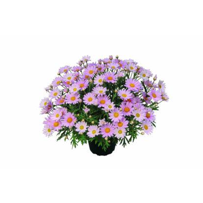 Argyranthemum Lolly / Cserjés margaréta