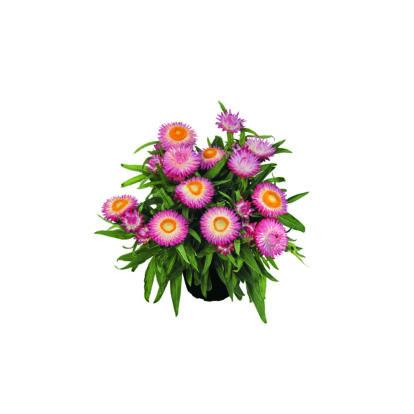 Bracteantha Sunbrella Pink / Szalmarózsa