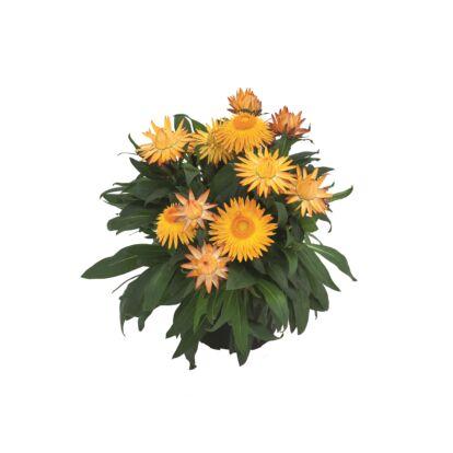 Bracteantha Sunbrella Orange / Szalmarózsa