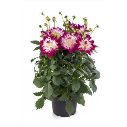 Dahlia Labella Maggiore Rose Bicolor / Óriás dália
