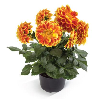 Dahlia Labella Medio Fun Orange Flame / Közepes dália