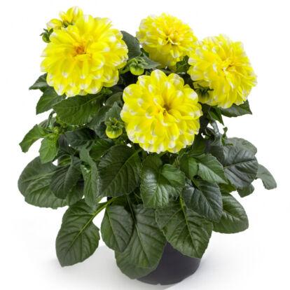 Dahlia Labella Medio Fun Yellow Picotee / Közepes dália