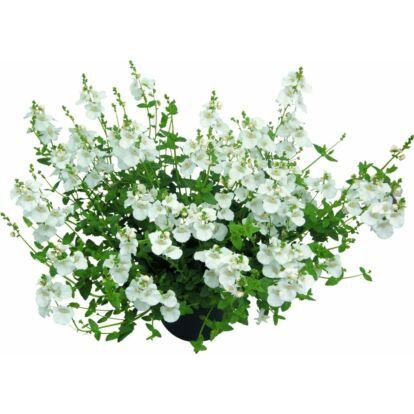 Diascia Breeze Plus White / Kanálajak