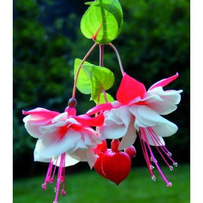 Fuchsia Swingtime / Csüngő növésű fukszia