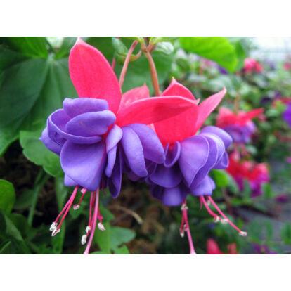 Fuchsia Blue Eyes / Csüngő növésű fukszia