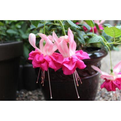 Fuchsia Bella Rosella / Óriásvirágú fukszia