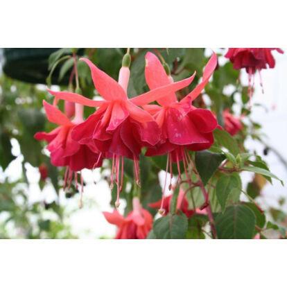 Fuchsia Bicentennial / Óriásvirágú fukszia
