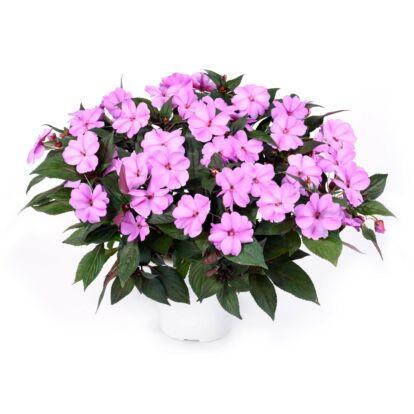 Impatiens Sun Harmony Blushing Orchid / Naptűrő nebáncsvirág
