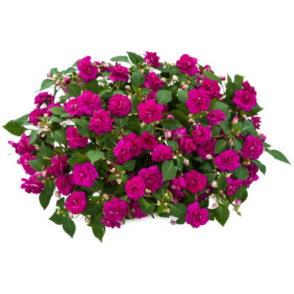 Impatiens Musica Fine Purple / Telt virágú nebáncsvirág