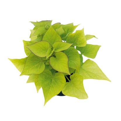 "Ipomoea Sweetheart Light Green / Édesburgonya, ""batáta"""
