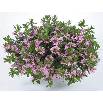 Scaevola Pink Blessing / Legyezővirág