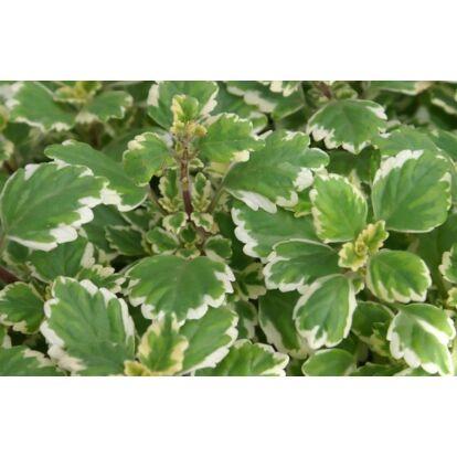 Plectranthus Coloides / Szúnyogűző, illatos kakassarkantyú