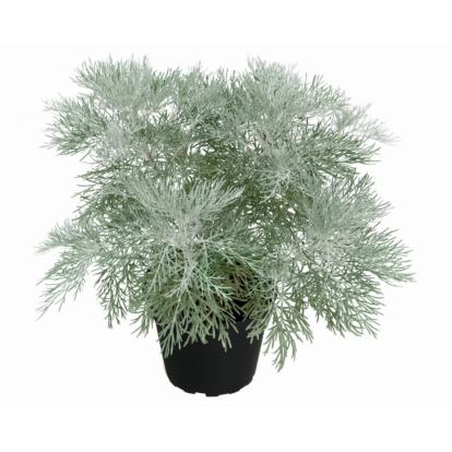 Artemisia Makana 'Silver'