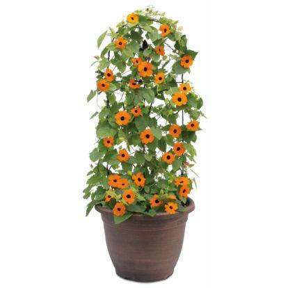 Thunbergia Orange Beauty / Feketeszem