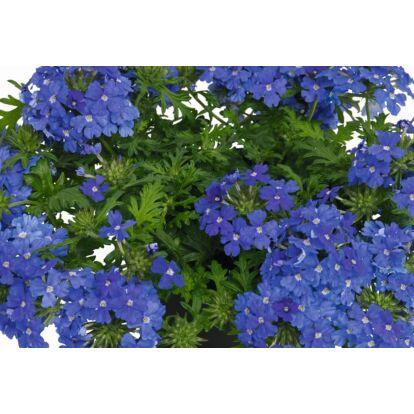 Vepita Pearl Blue