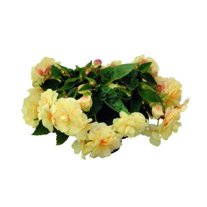 Begonia Chardonnay / Telt virágú begónia
