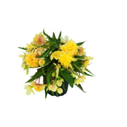 Begonia Belleconia Citrus / Telt virágú begónia
