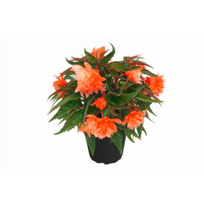 Begonia Belleconia Salmon / Telt virágú begónia