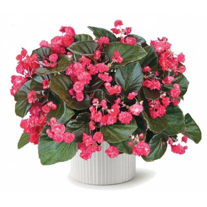 Begonia Doublet Red / Dupla virágú begónia