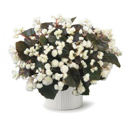 Begonia Doublet White / Dupla virágú begónia