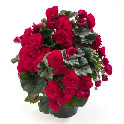 Begonia Carmen Red / Kerti begónia