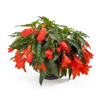 Begonia Encanto Orange / Naptűrő, futó begónia