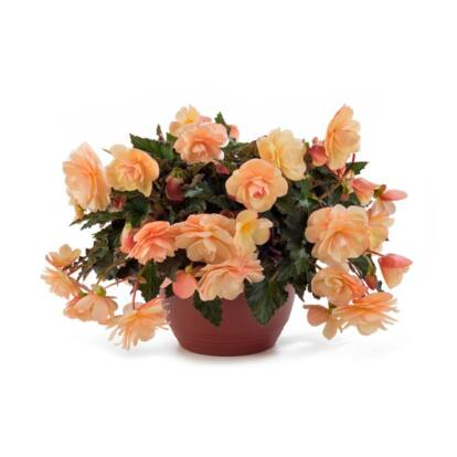 Begonia Fragrant Falls Peach / Illatos virágú begónia