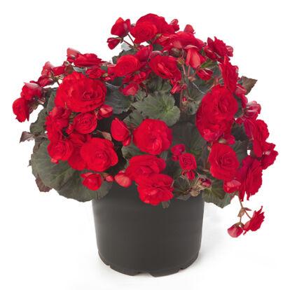 Begonia Solenia Red / Naptűrő begónia