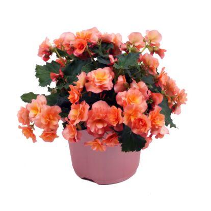 Begonia Solenia Apricot / Naptűrő begónia