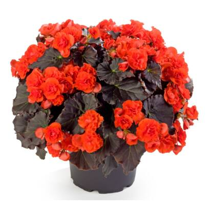 Begonia Solenia Chocolate Orange / Naptűrő begónia