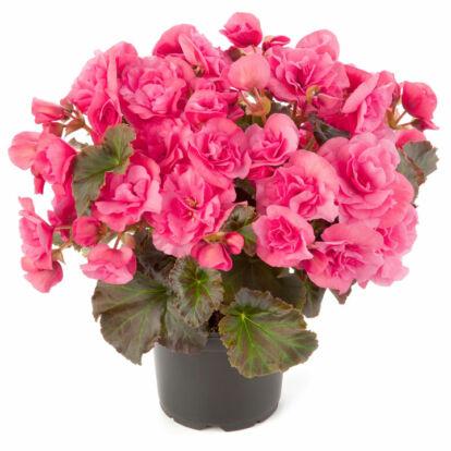 Begonia Solenia Light Pink / Naptűrő begónia