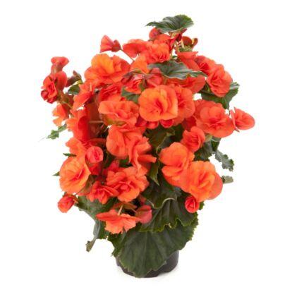 Solenia Orange