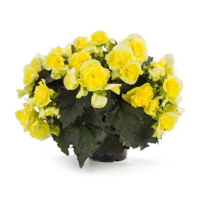 Solenia Yellow