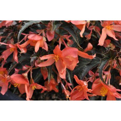 Begonia Summerwings Orange Elegance / Futó begónia