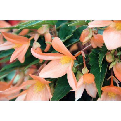 Begonia Summerwings Apricot / Futó begónia