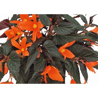 Begonia Summerwings Ebony & Orange / Futó begónia
