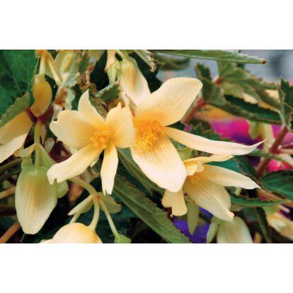 Begonia Summerwings Vanilla / Futó begónia