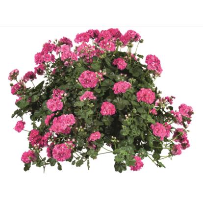 PAC Vintage Rose