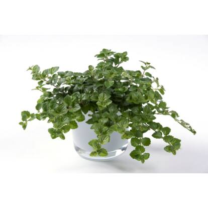 Satureja douglasii 'Indian mint' / Indián menta