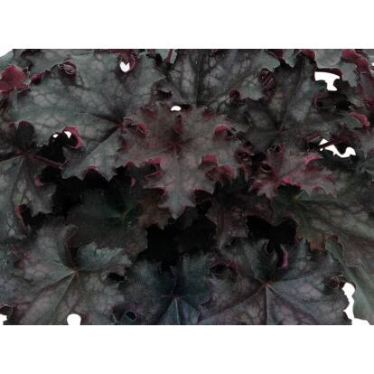 Heuchera Black Knight / Tűzeső
