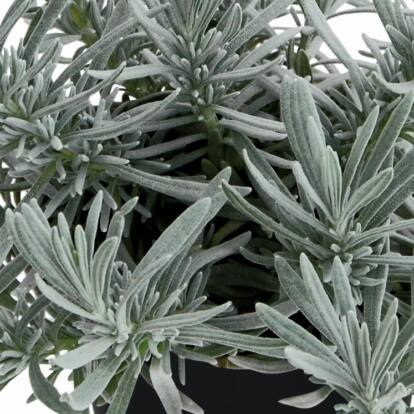 Lavandula x Chaytorae 'Silver Frost' / Hibrid levendula