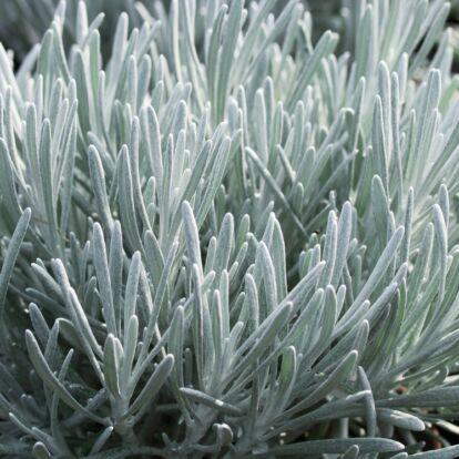 Helichrysum Thianschanicum 'Weisses Wunder' / Üzbég szalmagyopár