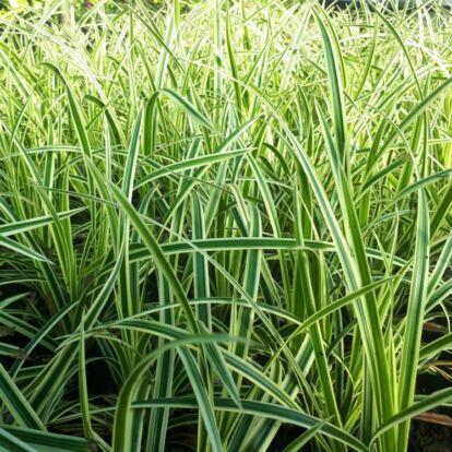 Carex Morrowii 'Vanilla Ice' / Tarka sás