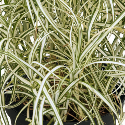 Carex muskingumensis 'Bicolor' / Pálmalevelű sás