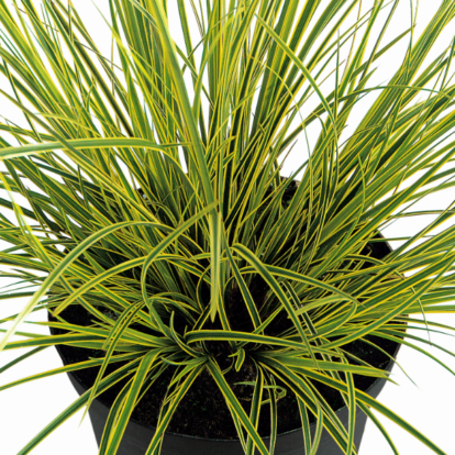 Carex brunnea 'Honeymoon' / Kerti díszsás