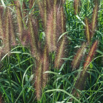 Pennisetum alopecuriodes 'Red Head' / Tollborzfű